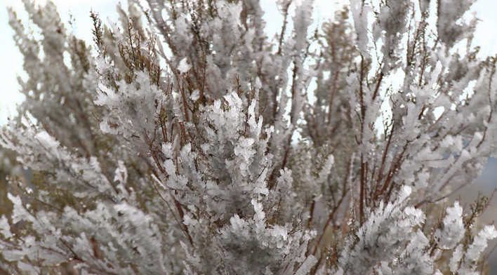 frozenbranches_0
