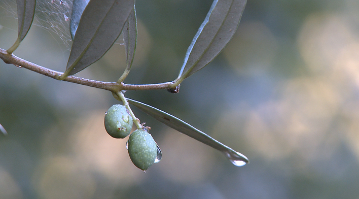 oliveswatr